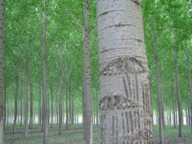 白杨树像什么